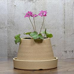 1「新潟県産」雪割草(ゆきわりそう)標準花・濃色サーモン系