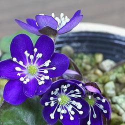 3「新潟県産」雪割草(ゆきわりそう)標準花・濃青系