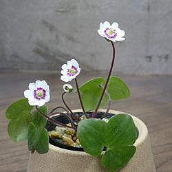 1「新潟県産」雪割草(ゆきわりそう)二段日輪咲き・白系