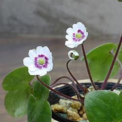 2「新潟県産」雪割草(ゆきわりそう)二段日輪咲き・白系