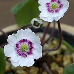 雪割草(ゆきわりそう・オオミスミソウ)標準花-白系