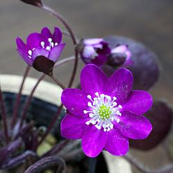 雪割草(ゆきわりそう・オオミスミソウ)標準花-紫系