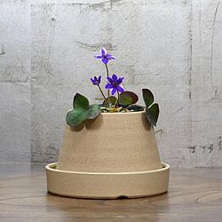 1「新潟県産」雪割草(ゆきわりそう)標準花・紫白覆輪系