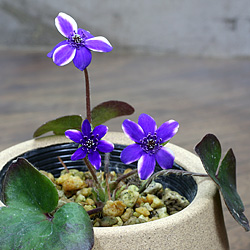 2「新潟県産」雪割草(ゆきわりそう)標準花・紫白覆輪系