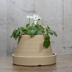 1「新潟県産」雪割草(ゆきわりそう)標準花・絞り系