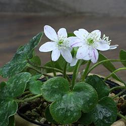 2「新潟県産」雪割草(ゆきわりそう)標準花・絞り系