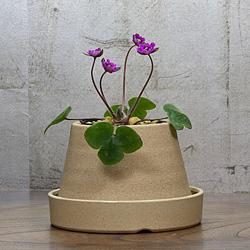 1「新潟県産」雪割草(ゆきわりそう)日輪咲き・紫系