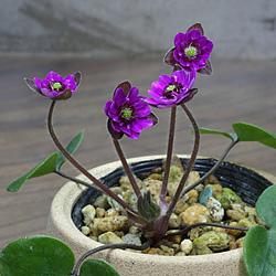 雪割草(ゆきわりそう・オオミスミソウ)日輪咲き-紫系