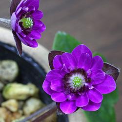 3「新潟県産」雪割草(ゆきわりそう)日輪咲き・紫系