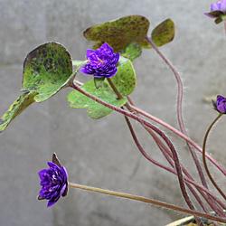 2「新潟県産」雪割草(ゆきわりそう)千重咲き・濃青系