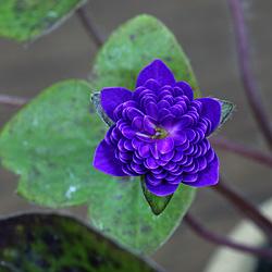 雪割草(ゆきわりそう・オオミスミソウ)千重咲き-青系