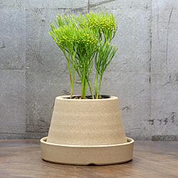 「伝統園芸植物」松葉欄(まつばらん)九十九金斑・ツクモキンプ