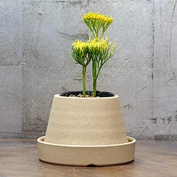 「伝統園芸植物」松葉欄(まつばらん)錦王・キンギョク
