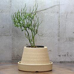 1「伝統園芸植物」松葉欄(まつばらん)玉巻龍・タママキリュウ