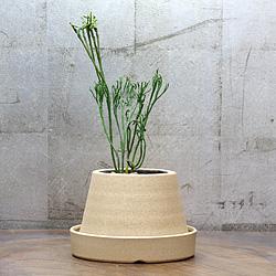 1「伝統園芸植物」松葉欄(まつばらん)霊芝角・レイシカク