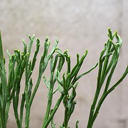 2「伝統園芸植物」松葉欄(まつばらん)霊芝角・レイシカク