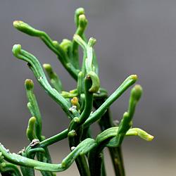 3「伝統園芸植物」松葉欄(まつばらん)霊芝角・レイシカク