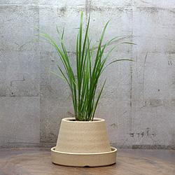 1「伝統園芸植物」石菖(せきしょう)谷間の雪・タニマノユキ