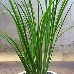 2「伝統園芸植物」石菖(せきしょう)谷間の雪・タニマノユキ