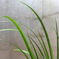 3「伝統園芸植物」石菖(せきしょう)谷間の雪・タニマノユキ