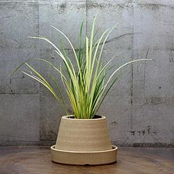 1「伝統園芸植物」石菖(せきしょう)金銀昼夜・キンギンチュウヤ