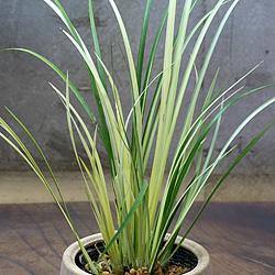 2「伝統園芸植物」石菖(せきしょう)金銀昼夜・キンギンチュウヤ