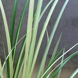 3「伝統園芸植物」石菖(せきしょう)金銀昼夜・キンギンチュウヤ
