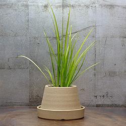 1「伝統園芸植物」石菖(せきしょう)有栖川・アリスガワ