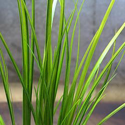 2「伝統園芸植物」石菖(せきしょう)有栖川・アリスガワ