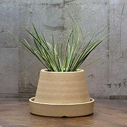1「伝統園芸植物」石菖(せきしょう)正宗・マサムネ