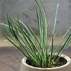 2「伝統園芸植物」石菖(せきしょう)正宗・マサムネ