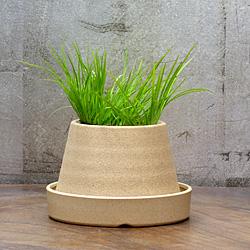 1「伝統園芸植物」石菖(せきしょう)黄金・オウゴン