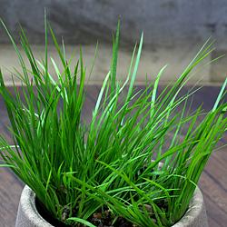 2「伝統園芸植物」石菖(せきしょう)黄金・オウゴン
