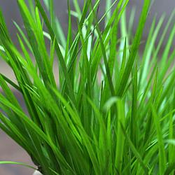 3「伝統園芸植物」石菖(せきしょう)黄金・オウゴン