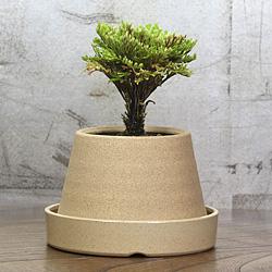 1「伝統園芸植物」巻柏(いわひば)黄金錦・オウゴンニシキ