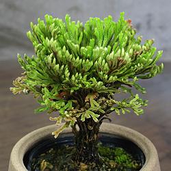 2「伝統園芸植物」巻柏(いわひば)黄金錦・オウゴンニシキ