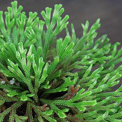 3「伝統園芸植物」巻柏(いわひば)晃明殿・コウメイデン