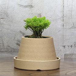 1「伝統園芸植物」巻柏(いわひば)黄豊冠・キホウカン