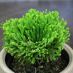 2「伝統園芸植物」巻柏(いわひば)黄豊冠・キホウカン