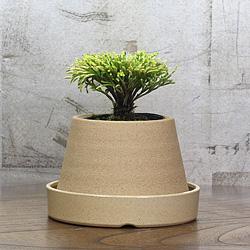 1「伝統園芸植物」巻柏(いわひば)明星・メイセイ