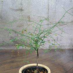 2「伝統園芸植物」琴糸(錦糸)南天(きんしなんてん)琴姫・コトヒメ