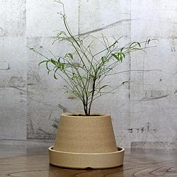 1「伝統園芸植物」琴糸(錦糸)南天(きんしなんてん)曽我筏・ソガイカダ