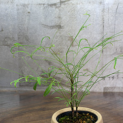 2「伝統園芸植物」琴糸(錦糸)南天(きんしなんてん)曽我筏・ソガイカダ
