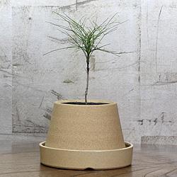 1「伝統園芸植物」琴糸(錦糸)南天(きんしなんてん)青縮緬・アオチリメン