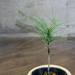 2「伝統園芸植物」琴糸(錦糸)南天(きんしなんてん)青縮緬・アオチリメン