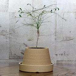 1「伝統園芸植物」琴糸(錦糸)南天(きんしなんてん)青棒・アオボウ
