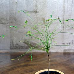 2「伝統園芸植物」琴糸(錦糸)南天(きんしなんてん)青棒・アオボウ