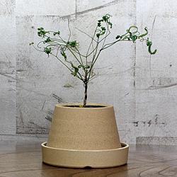 1「伝統園芸植物」琴糸(錦糸)南天(きんしなんてん)折鶴筏・オリヅルイカダ