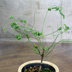 2「伝統園芸植物」琴糸(錦糸)南天(きんしなんてん)折鶴筏・オリヅルイカダ