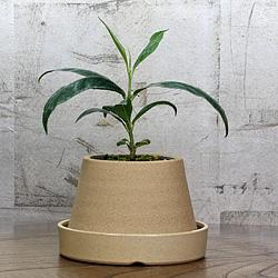 1「伝統園芸植物」百両金・(からたちばな)西山百種・ニシヤマヒャクシュ